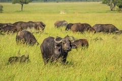 Afrikansk buffel på slättarna av Serengetien Royaltyfri Fotografi