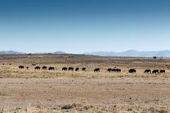 Afrikansk buffel på flyttningen i nationalparken för bergsebra Arkivbilder