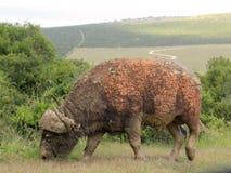 Afrikansk buffel som äter gräs Royaltyfri Foto