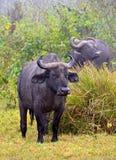 Afrikansk buffel som calmly plattforer på gräset royaltyfri foto