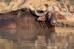 Afrikansk buffel som v?rma sig i vattnet i solen f?r sen eftermiddag som fotograferas p? den Kruger nationalparken i Sydafrika royaltyfri fotografi