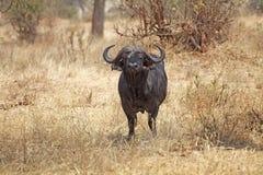 Afrikansk buffel (Syncerus caffer) Arkivfoton