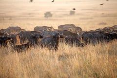 Afrikansk buffel (Syncerus caffer) Fotografering för Bildbyråer