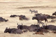 Afrikansk buffel (Syncerus caffer) Arkivbild