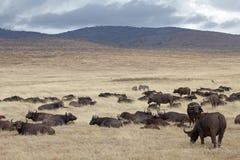 Afrikansk buffel (Syncerus caffer) Royaltyfria Bilder