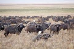 Afrikansk buffel (Syncerus caffer) Royaltyfri Foto