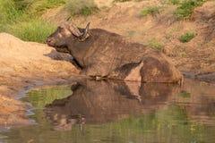 Afrikansk buffel vid vattnet i solen f?r sen eftermiddag som fotograferas p? den Kruger nationalparken i Sydafrika royaltyfri bild