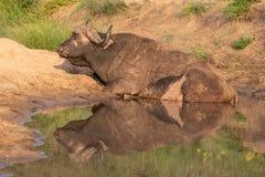 Afrikansk buffel vid vattnet i solen f?r sen eftermiddag som fotograferas p? den Kruger nationalparken i Sydafrika royaltyfria foton