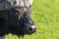 Afrikansk buffeldetalj Arkivbilder