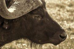 Afrikansk buffeldetalj Fotografering för Bildbyråer