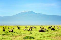 Afrikansk buffelflock med Kilimanjaro montering i bakgrunden, K Royaltyfria Foton