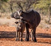 Afrikansk buffelmoder och kalv Royaltyfri Foto