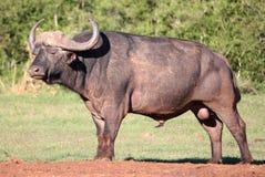 Afrikansk buffeltjur arkivbild