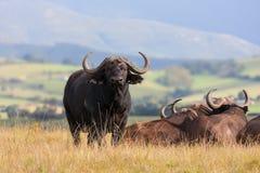 afrikansk buffeltjur Fotografering för Bildbyråer
