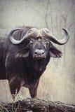 Afrikansk buffeltjur 1 Arkivfoton