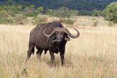 afrikansk buffeltjur lone kenya arkivfoton