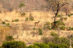 afrikansk buske Fotografering för Bildbyråer