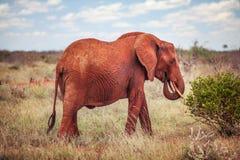 Afrikansk buskeelefant, loxodontaafricana som är röd från dammingång arkivbild