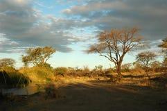 afrikansk buskeliggande Arkivbild