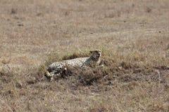 afrikansk cheetah fotografering för bildbyråer