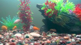 Afrikansk Cichlidsfisk