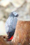 afrikansk congo grå papegojastående royaltyfri bild