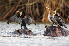 Afrikansk darter, Anhingarufa som sitter på baksidan av flodhästen, Royaltyfria Foton