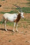 afrikansk djur horned oryxantilopsavvanahscimitar Royaltyfri Foto
