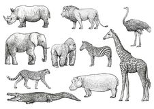 Afrikansk djurillustration, teckning, gravyr, färgpulver, linje konst, vektor vektor illustrationer