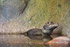 Afrikansk dvärg- krokodil som vilar med halvan av kroppen som doppas i vattnet, medan se skarpt in i lensen royaltyfria bilder