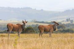 afrikansk eland Arkivfoto