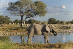 afrikansk elefant Royaltyfri Fotografi