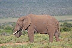 afrikansk elefant Arkivbild