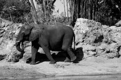 Afrikansk elefant Arkivbilder
