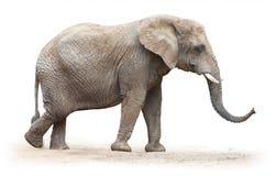 Afrikansk elefant. Royaltyfri Fotografi
