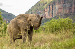 afrikansk elefant Royaltyfri Bild