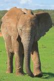 afrikansk elefant Fotografering för Bildbyråer