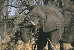 Afrikansk elefant Botswana Moremi fotografering för bildbyråer