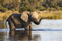 Afrikansk elefant - den Okavango deltan - Botswana Royaltyfri Foto