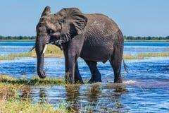 Afrikansk elefant - enstöring Royaltyfria Foton