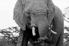 Afrikansk elefant för stor gammal tjur i svartvitt royaltyfri foto