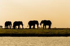 Afrikansk elefant i den Chobe nationalparken Arkivfoton