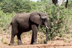 Afrikansk elefant i den Chobe nationalparken Arkivbilder