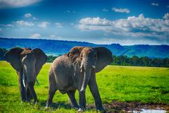 Afrikansk elefant i en nationalpark, Sydafrika Royaltyfri Bild