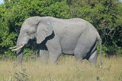 AFRIKANSK ELEFANT I GRÄSSLÄTT I BOTSWANA royaltyfri fotografi