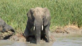 Afrikansk elefant i gyttja Arkivfoto