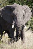 Afrikansk elefant i krugernationalpark Arkivbild