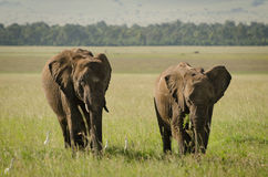 Afrikansk elefant i masaien Mara National Reserve, Kenya arkivbilder