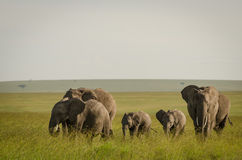 Afrikansk elefant i masaien Mara National Reserve, Kenya royaltyfria foton