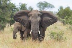 Afrikansk elefant (Loxodontaafricana) som är kvinnlig med barn, södra A Royaltyfri Bild
